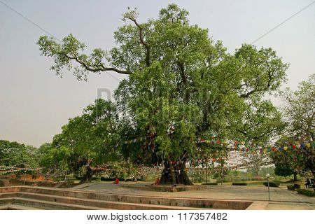 Bodhi tree in Lumbini Nepal