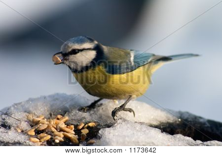 Blue Tit Bird Eating Seeds