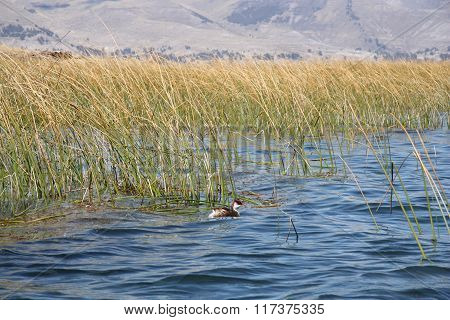 Duck in reeds of Titicaca lake, Copacabana, Bolivia
