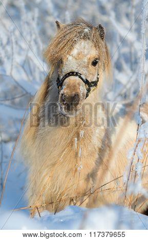 American miniature horse - palomino mare