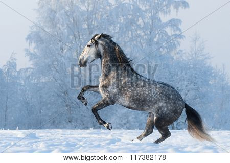 Purebred Spanish horse prancing on winter meadow