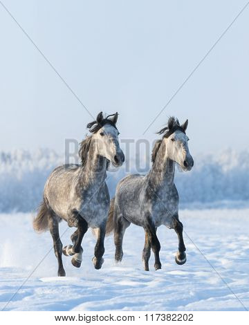 Two galloping gray Andalusian horse