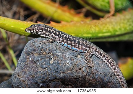 Black Lizard, Blue Patches. Filfola Lizard Laurentiimuelleri