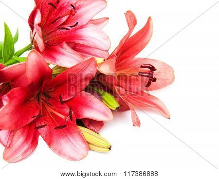 Pink Lily Isolated