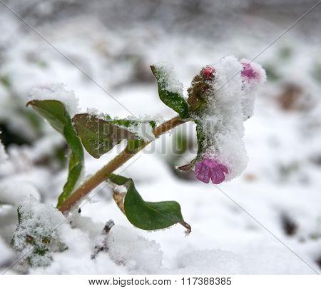Lungwort Flower Under Snow