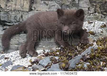 Puppy Commanders Blue Arctic Fox Which Lies On The Rocks Near The Lair Of A Summer Day