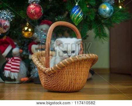 British Kitten In The Basket