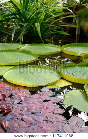Water Lilies Victoria Amazonia in a pond