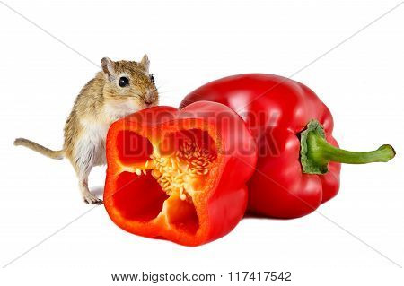 Little gerbil mouse touch fresh red pepper isolated on white background