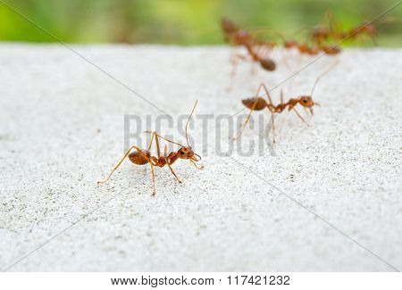 red ants on the ground close-up