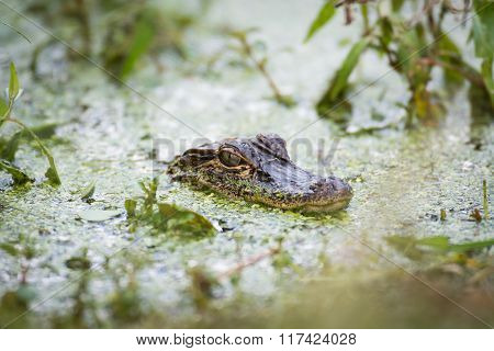 Baby Alligator In The Water