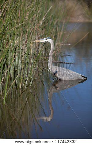 Great blue heron bird