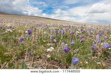 buds Pulsatilla grandis on the meadow , flower, pulsatilla,