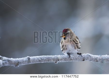 smoking redpoll