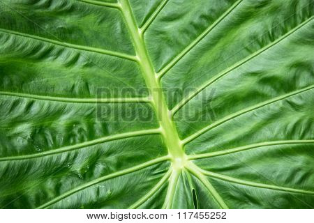 Colocasia Esculenta Background, Tropical Plant