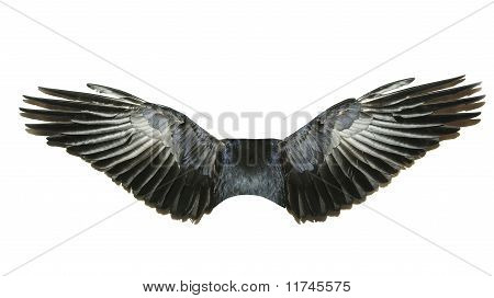 bird wings isolated on a white background poster
