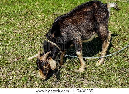Goat In A Leash