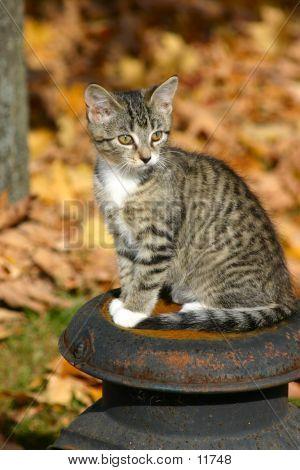 Kitten On A Milkcan