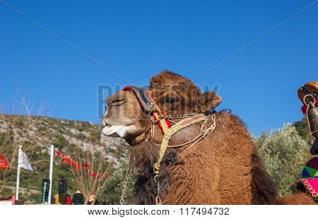 Camel Fighting Face