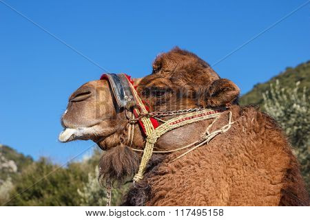Fighting Camel