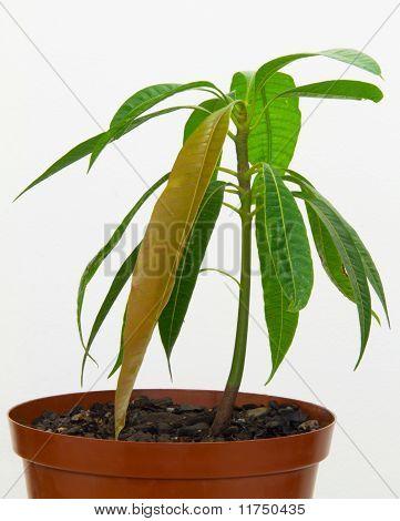 Mango seedling