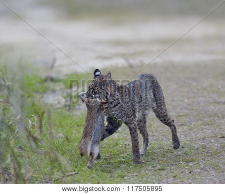 Wild Bobcat Holds a Rabbit in its Mouth