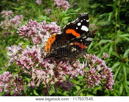 The admiral butterfly (Vanessa atalanta)