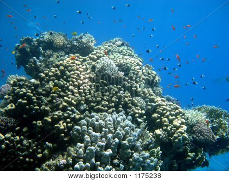 Large Coral With Colorfull Fish