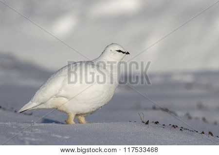 Rock Ptarmigan Male Who Goes On Winter Tundra