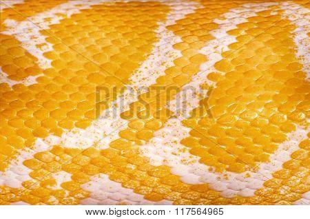 Yellow Python Skin