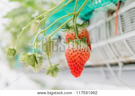 Close up - Strawberry on the branch in strawberry planting