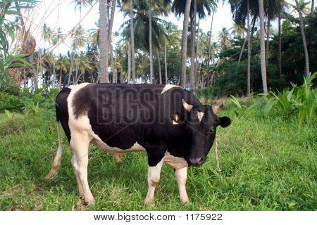 Caribbean Cow