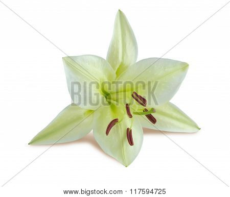 close-up white lily.lily flower on white background