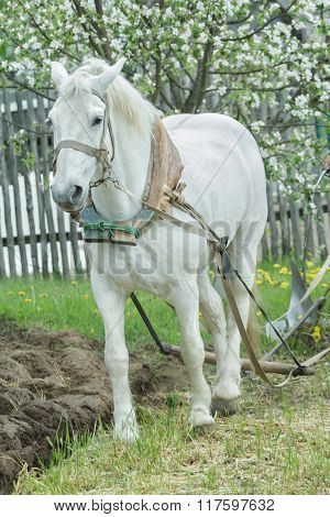 White draft horse ploughing soil in traditional way in springtime