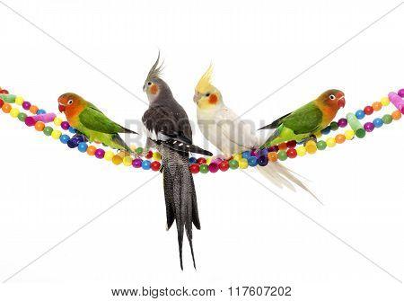 Lovebirds And Cockatiel