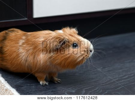 Portrait Of Guinea Pig. Close Up Photo.