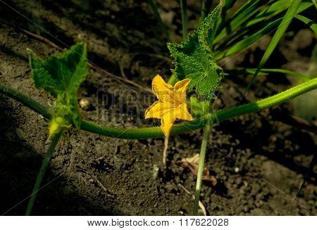 Blooming Cuke Liana
