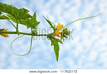 Blooming Cucumber Plant