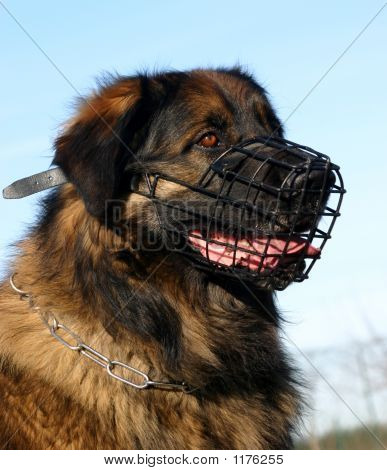 Leonberger And Muzzle