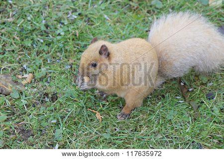 Squirrel, Blond (Eastern Gray)