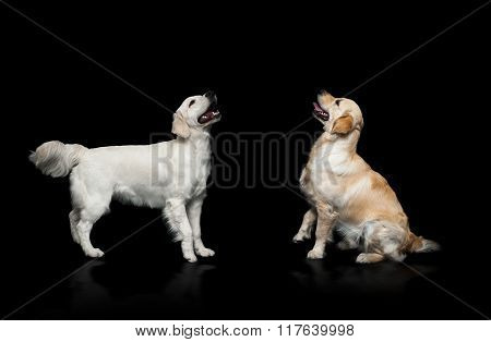 Golden Retriever Dogs Placing Over A Black Background