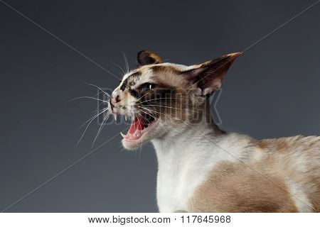 Closeup Portrait Of Hisses Oriental Cat Isolated On Blue