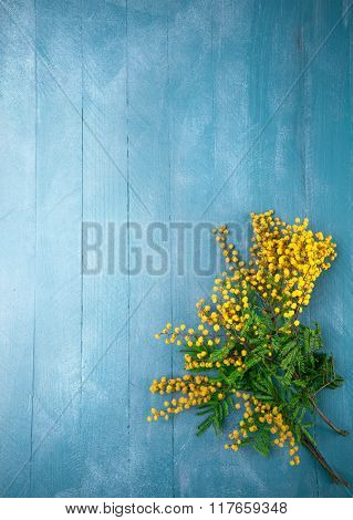Branch blooming mimosas on blue wooden board top view with copyspace