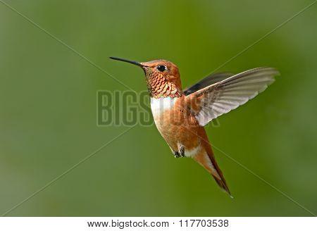 Male Rufous Hummingbird in flight, Canada