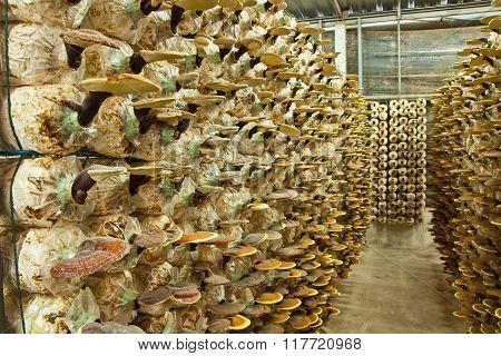 Ganoderma In The Mushroom Farm.
