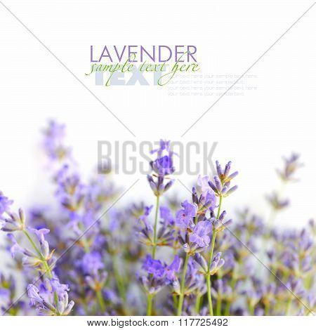 Lavender Flowers (lavandula) On A White Background