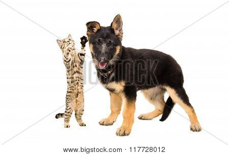 Playful kitten Scottish Straight playing with a puppy German shepherd