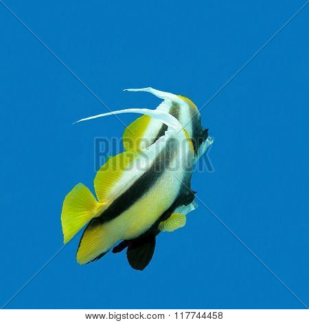 Two Exotic Fishes Bannerfish On A Background Of Blue Water, Underwate