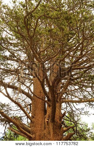 Big Tree In Inyo Park, California