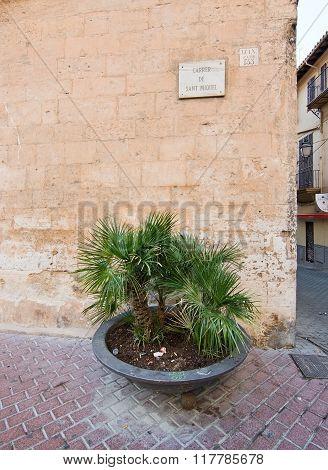 Palm Tree In Pot On Carrer San Miquel